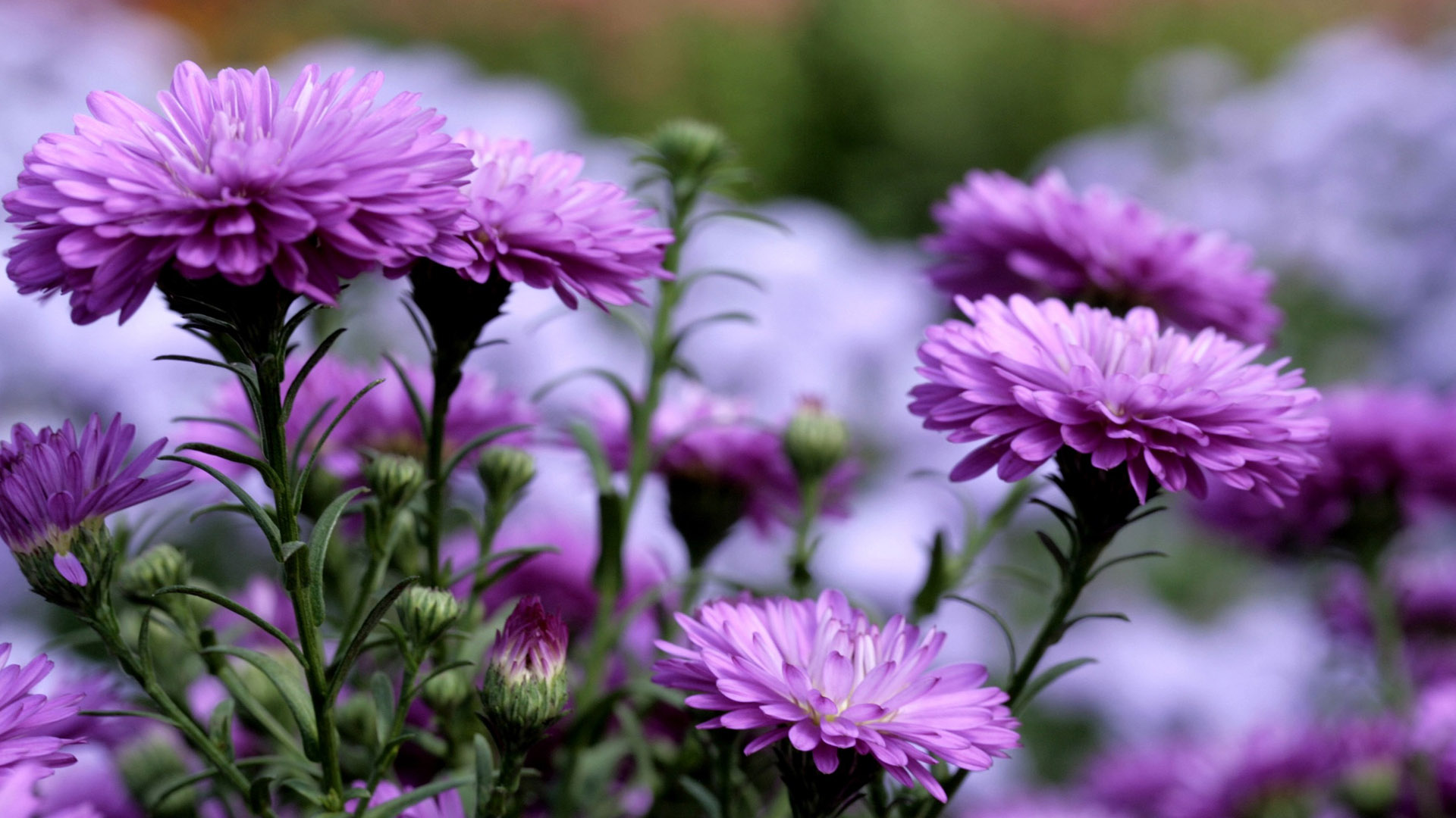Обои абстракция, цветок, хризантема. Абстракции foto 14